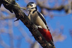 http://temp_thoughts_resize.s3.amazonaws.com/63/fa6d90de2911e5a4bddb8f3cb86bda/Great-spotted-woodpecker-2016-3a.jpg